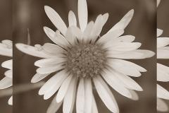 daisy overlap monochrome